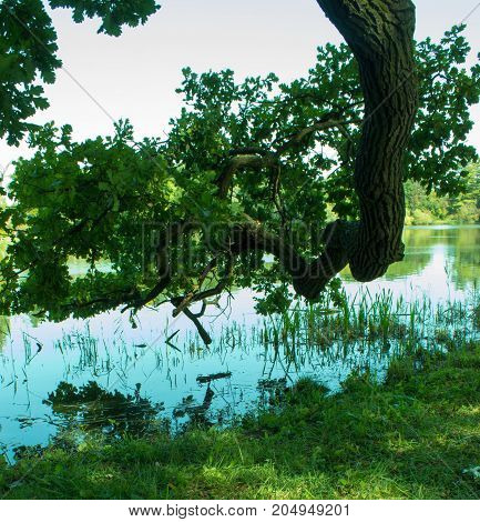 Old big oak with leaves. On the background lake and blue sky. The oak is mirrored in the lake.