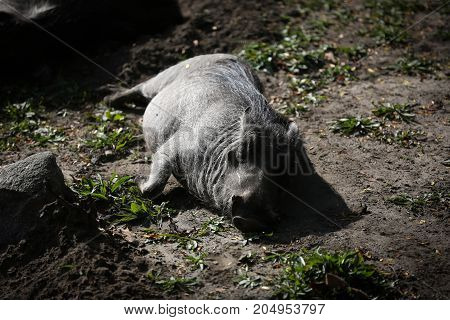 Warthog lying down resting in the dirt.