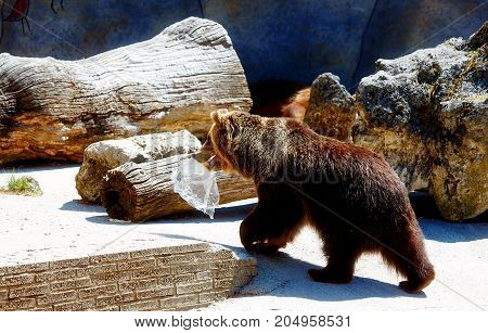Brown european bear face, Ursus arctos arctos