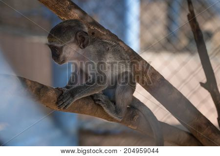 Portrait of monkey baboon in a cage.