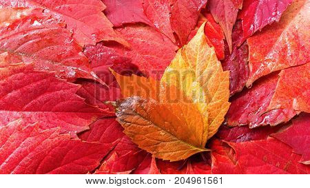 autumn red foliage / background of autumn leaves bright time of the year