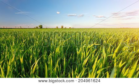 young rising field / agriculture young seedlings of wheat