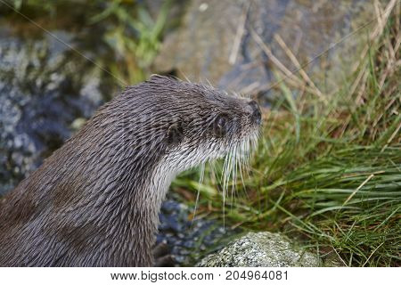 Otter head in wilderness. Wildlife animal background. Horizontal