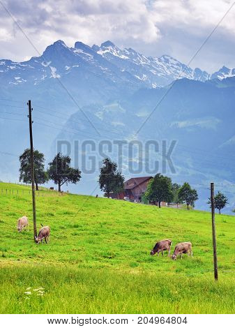 Cows grazing grass on green farmland field of an alpine meadows mountains at background Switzerland