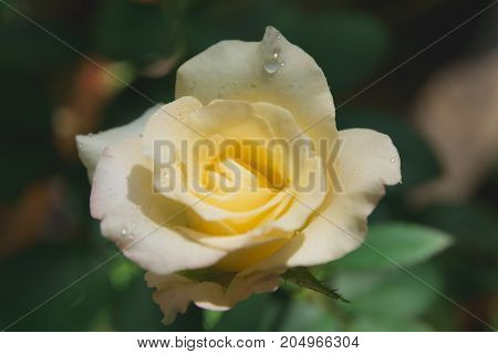 Macro of Sweet flower. Close up white flowers on nature background.