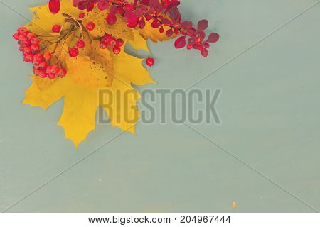 Fall yellow maple leaves and red berries on blue background, retro toned