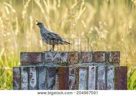 Quail on brick object. A small cute California quail perched on a brick structure near Hauser Lake Idaho.