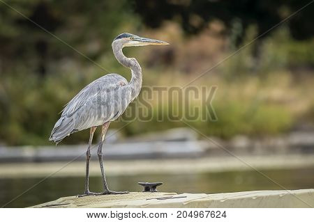 A great blue heron stands on a small dock on Newman Lake in Washington.