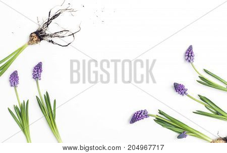 Hyacinth On White Background