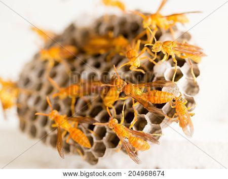 yellow wasp on the honeycomb in nature. macro