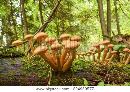 Edible mushrooms growing on dry fallen trees