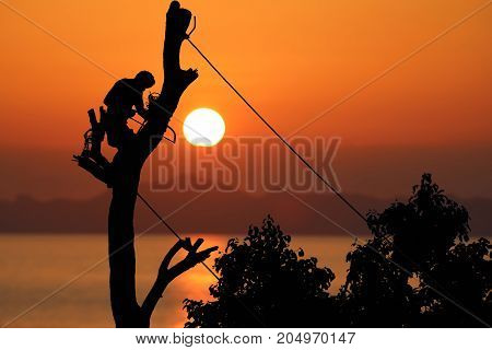 Local tree climber is cutting a branch by hand saw using ropes to tie and support Red sky sunset background.