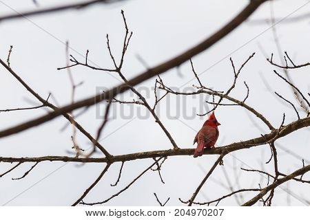 The norther cardinal sitting on the branch of bare tree on the background of cloudy sky