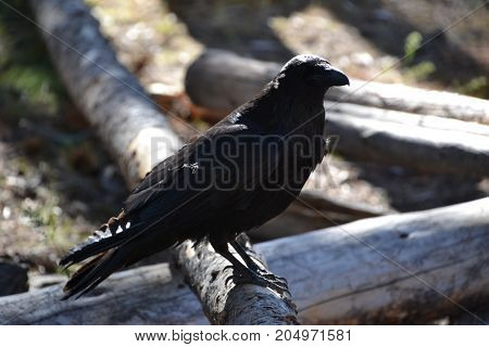 common raven seen in Yellowstone national park