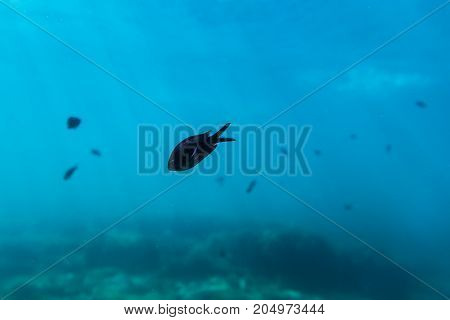 Black fishes in ocean. Underwater photo of wild life in sea