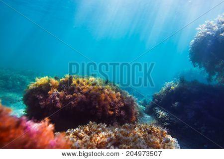 Sun rays and red seaweed on stones in underwater. Blue water in sea. Ocean flora