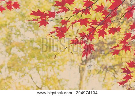 Vibrant red maple leaves in fall sunny yellow park, retro toned