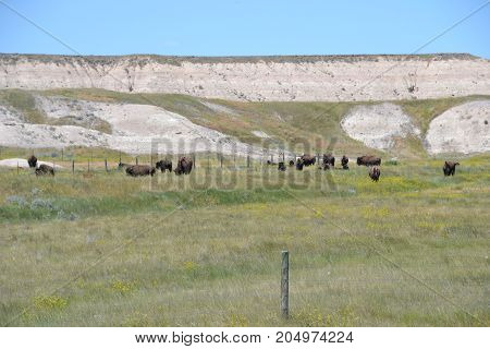 herd of bison (north American buffalo)  in badlands national park, south dakota