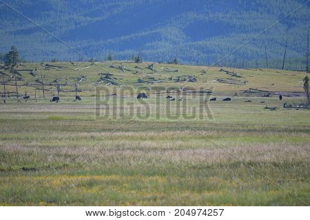 herd of bison (north American buffalo) in Yellowstone national park, wyoming
