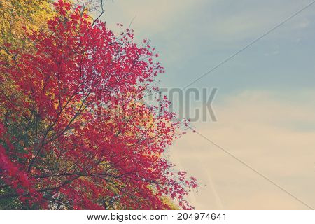 Vibrant red maple leaves in fall sunny yellow park with blue sky, retro toned