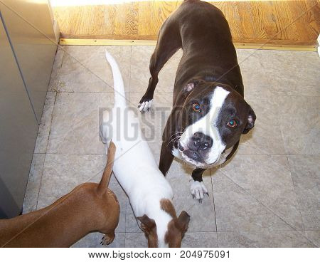 Awesome black and white boxer mix in kitchen with white and brown terrier and brown terrier.