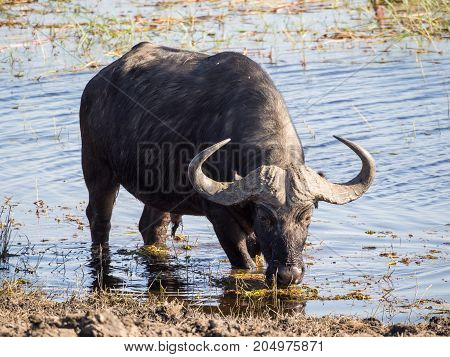 Huge water buffalo with impressive horns at water of Chobe River National Park, Botswana, Southern Africa.