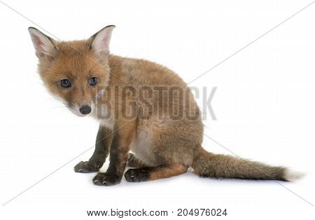 fox cub in front of white background