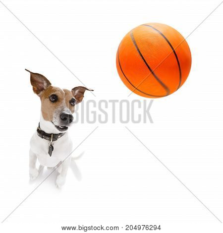 Basketball Jack Russell  Dog