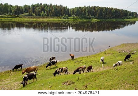 A herd of cows grazes on the bank of the Siberian river Severnaya Sosva, Subpolar Urals Mountains