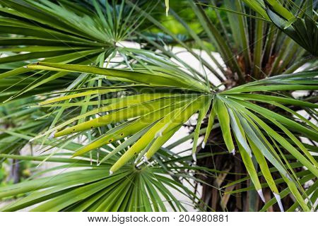 chamearops humilis dwarf palm tree plant leaves leaf from middle sea mediterranean close up