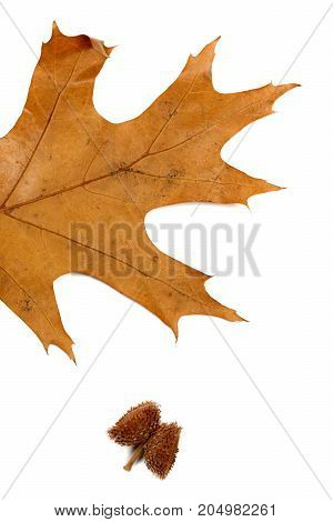 Part Of Autumn Dry Leaf Of Oak And Acorn