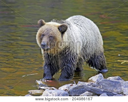 Grizzly Bear two year old standing in creek fishing for Salmon.