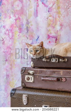 Thai Cat With Blue Eyes Sits Inside Vintage Suitcases Pyramid Close-up