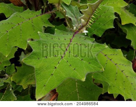 a plant with large green leaves and many sharp spikes
