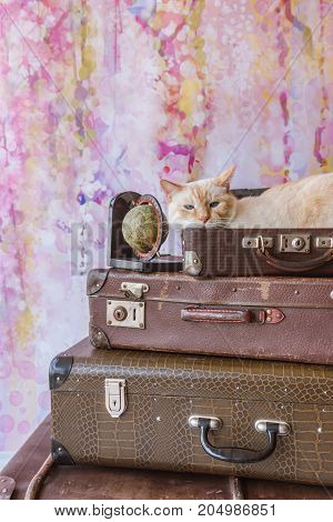 Thai Cat With Blue Eyes Sits Inside Vintage Suitcases