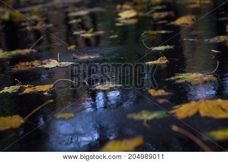 Yellow Leaves On Wet Asphalt In Autumnal Rain Forest