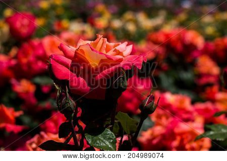Rose Garden With Beautiful Fresh Roses