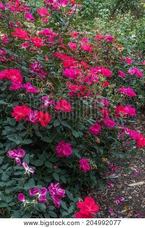A macro shot of red red roses in Seatac Washington.