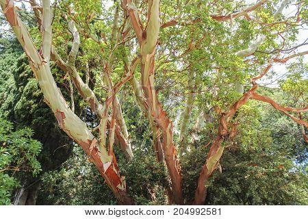 Strawberry tree changing the bark. Lush vegetation of the Nikitsky Botanical Garden in the Crimea.