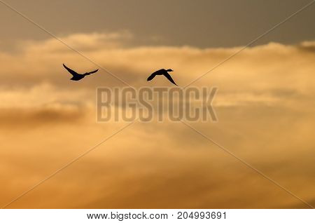 Two Ducks Flying in the Vibrant Sunset Sky