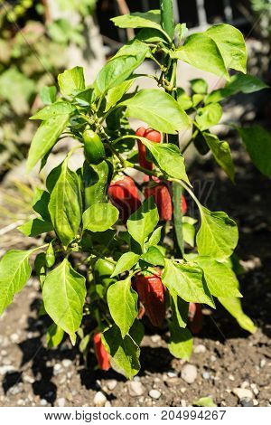 ripe paprika on plant in garden close up front view with green leaf
