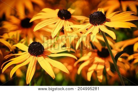 Orange Coneflower 'Goldsturm' (Rudbeckia fulgida) flowers of summer