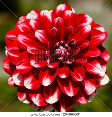 Dahlia (Dahlia), flowers of gardens, beauty in summer