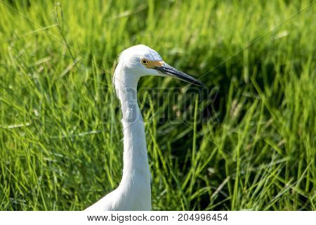 The Snowy Egret Is Fishing At Malibu Lagoon