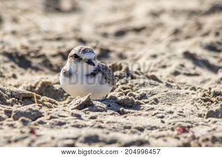 The Cute Little Snowy Plover Walking Around The Beach