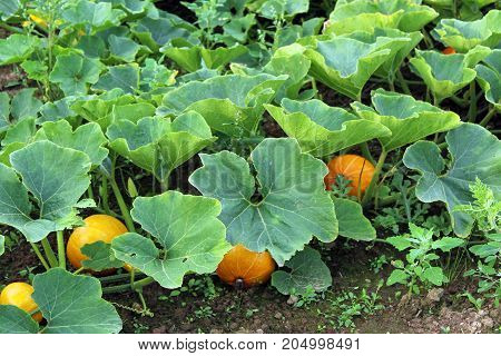 Pumpkin patch with bright orange pumpkins and large green leaves.