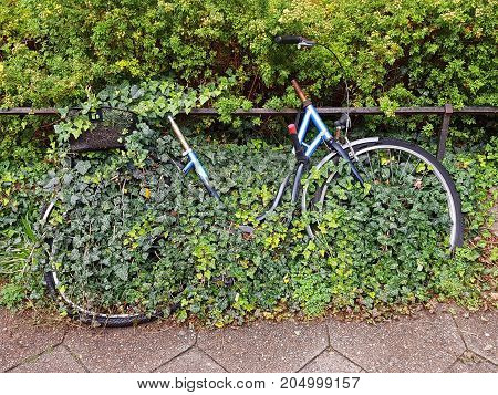 A rusty bicycle overgrown with ivy in a quiet side street in Berlin.
