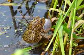 American Toad (Bufo americanus) calling on a warm summer day in the Midwest United States. poster