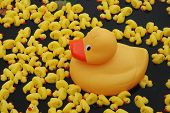 Illegal entrant to the great british duck race. A large yellow plastic duck towers overthe other competitors. poster