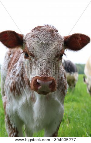 Close-up Of Head And Face Of Tan Brown Newborn Roan Calf  Looking At The Camera Outdoors